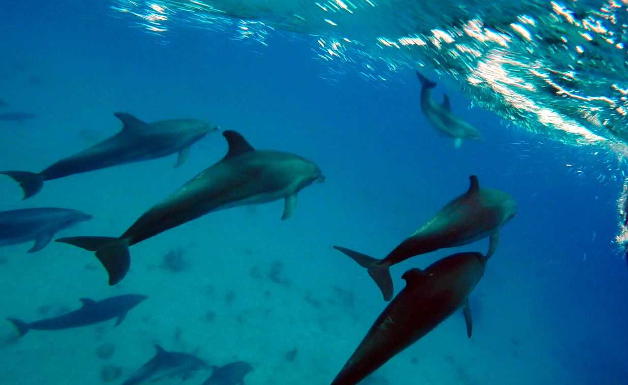 Dolphins Swimming Under Water in Turks & Caicos Islands