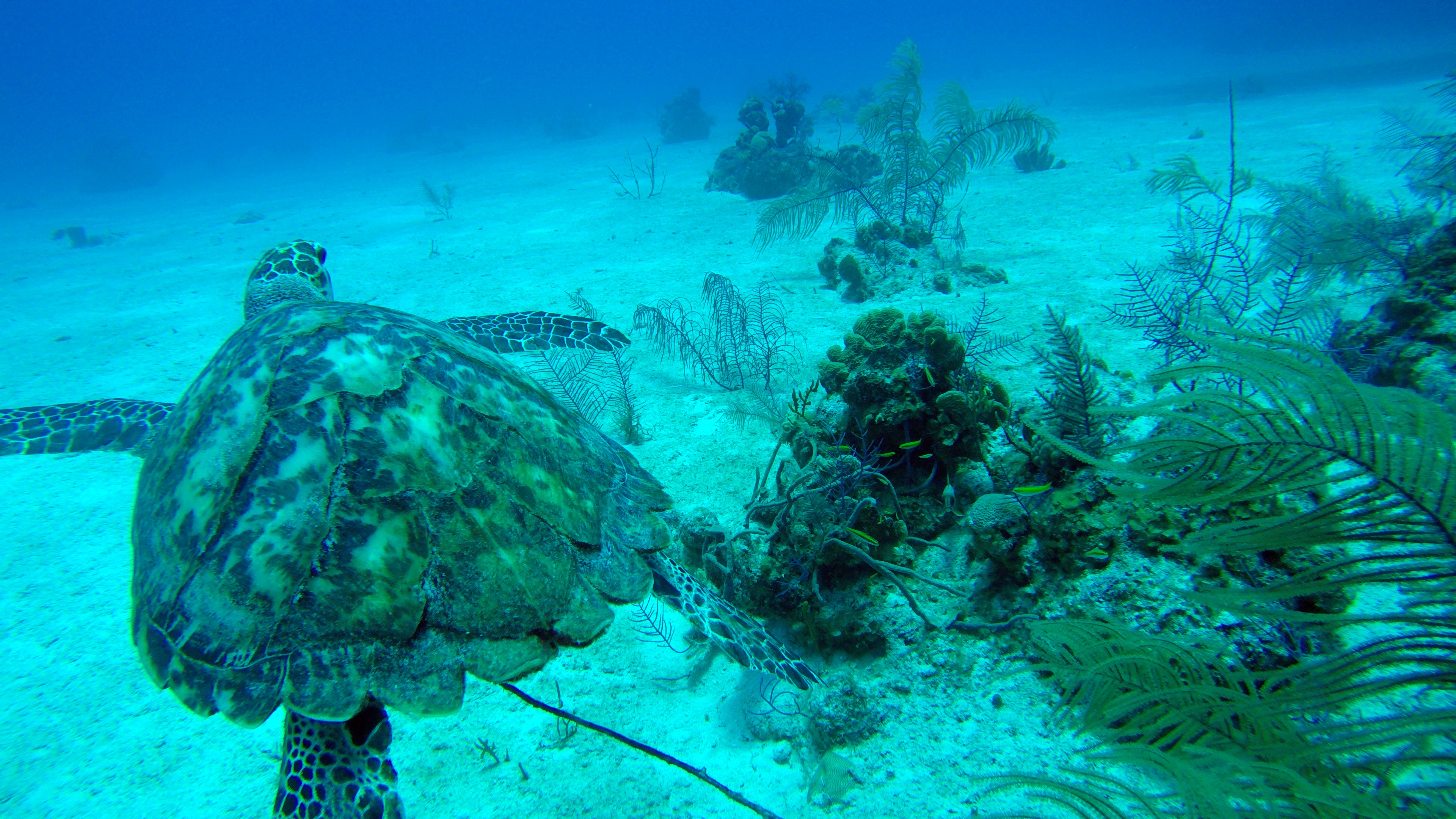 Sea Turtle Swimming with Caicos Adventures