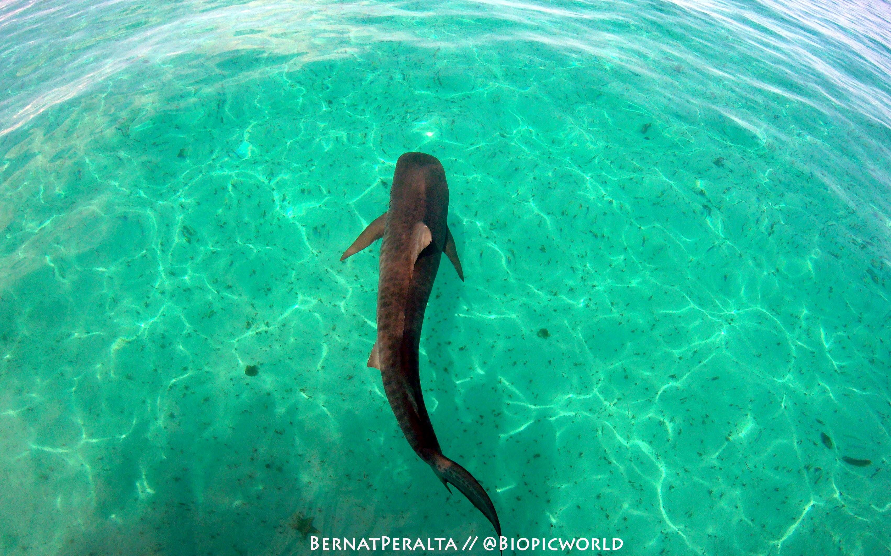 Tiger Shark swimming with Caicos Adventures