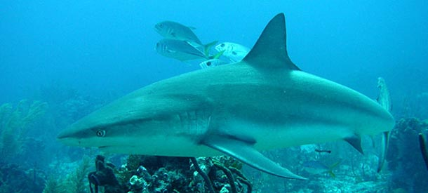 Dive with Caribbean Sharks in Turks & Caicos Islands