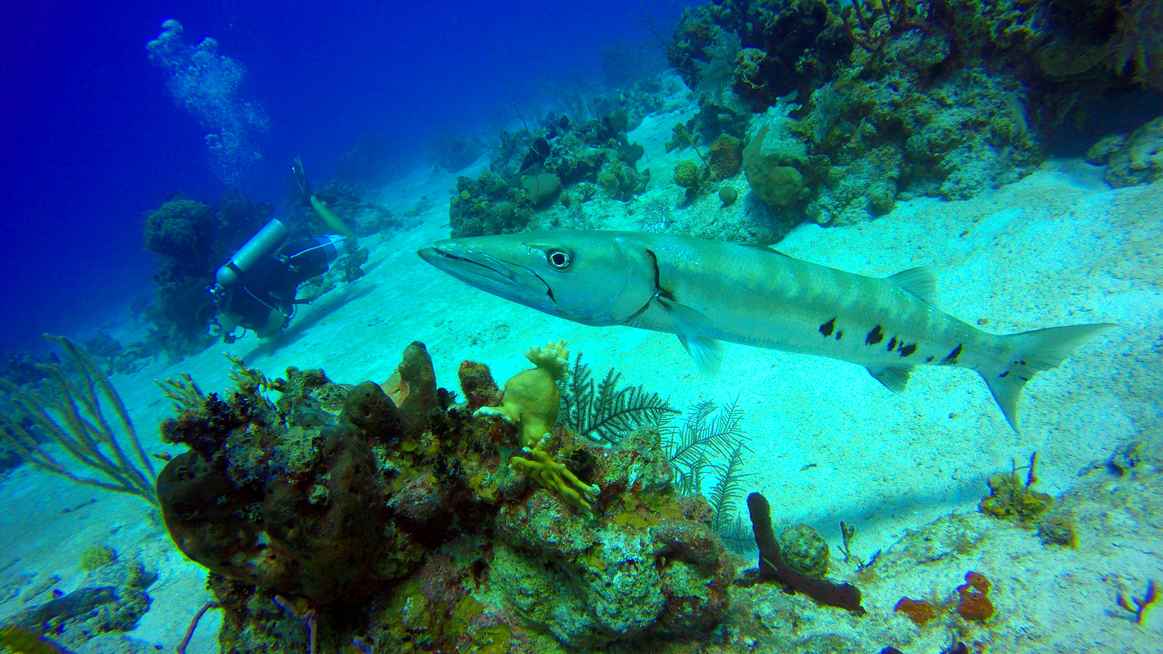 Baracuda Diving with Caicos Adventures